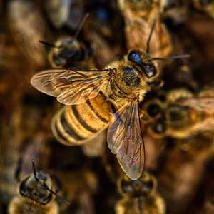 Live Bee Removal Peoria
