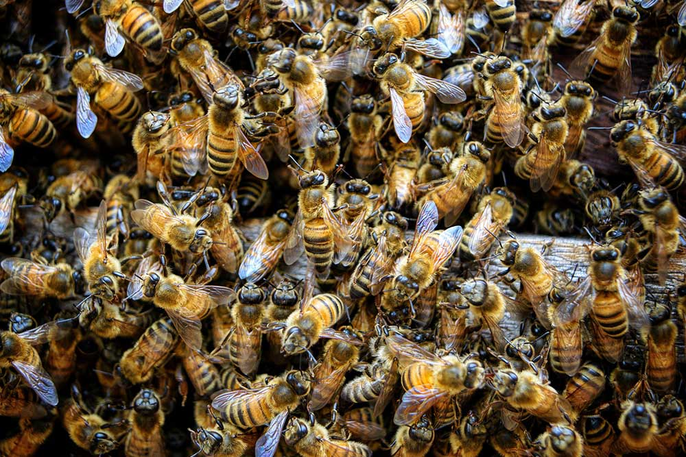 What are Africanized Honey Bees?
