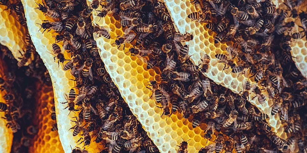 Bee Removal in Anthem AZ