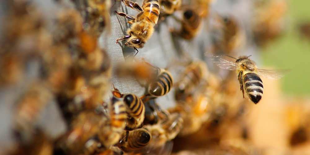 Bee Removal in Avondale AZ
