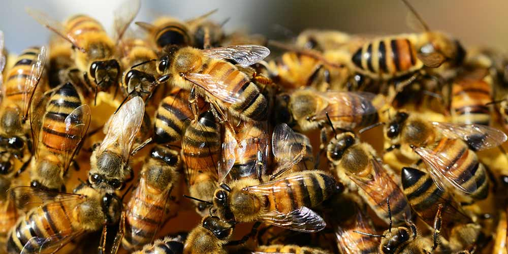 Bee Removal in Chandler AZ