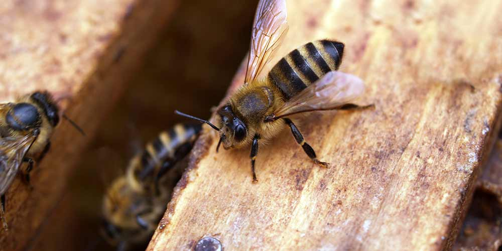 Bee Removal in Coolidge AZ