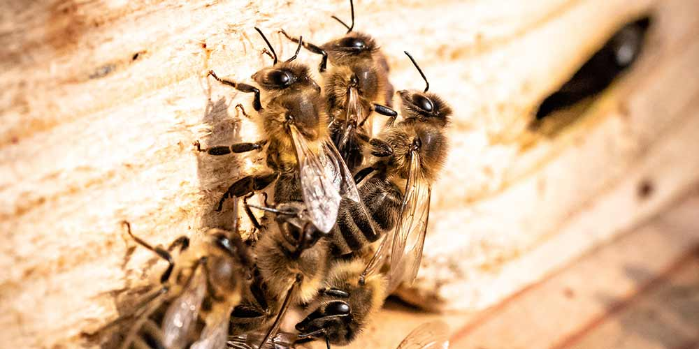 Bee Removal in Laveen AZ