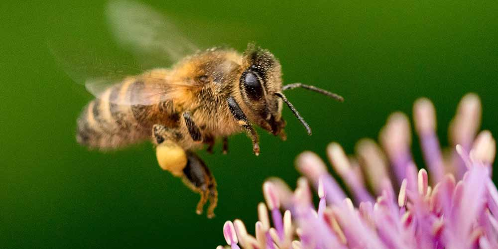 Bee Removal in Maricopa AZ