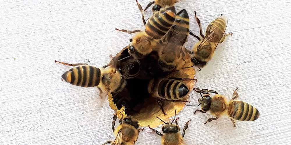 Peoria Bee Removal