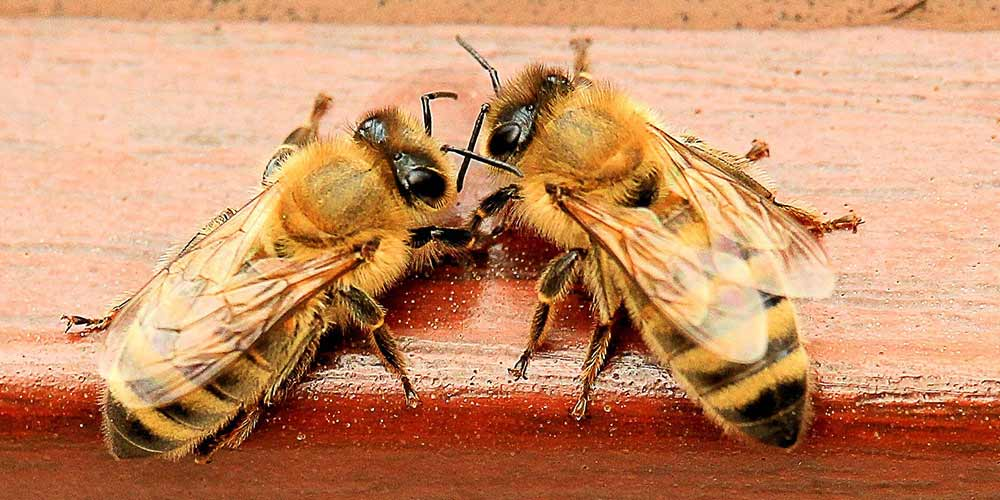Bee Removal in Phoenix