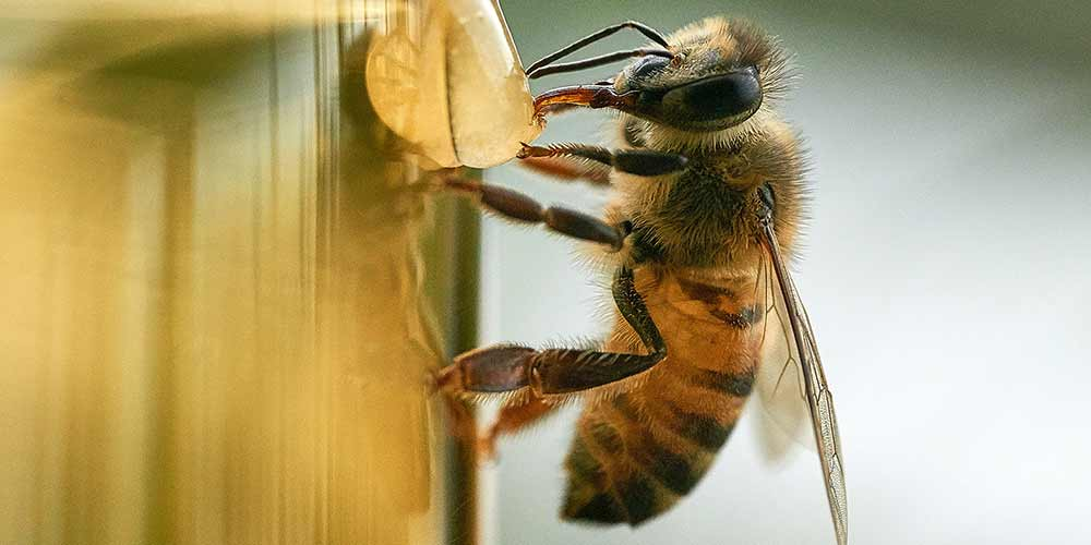 Bee Removal in Sun City West AZ