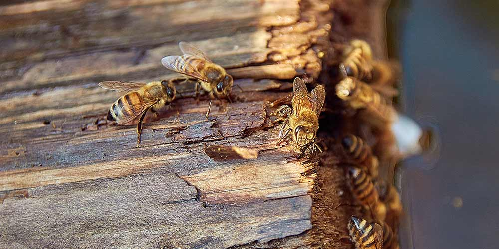 Bee Removal in Surprise AZ