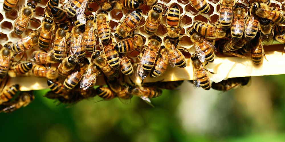 Bee Removal in Tolleson AZ