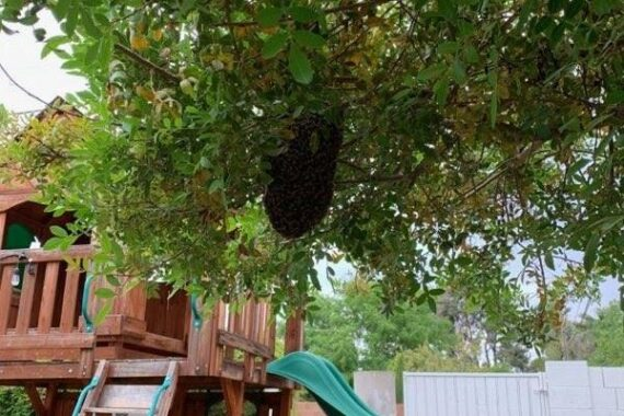 Swarm Removal from tree in Phoenix