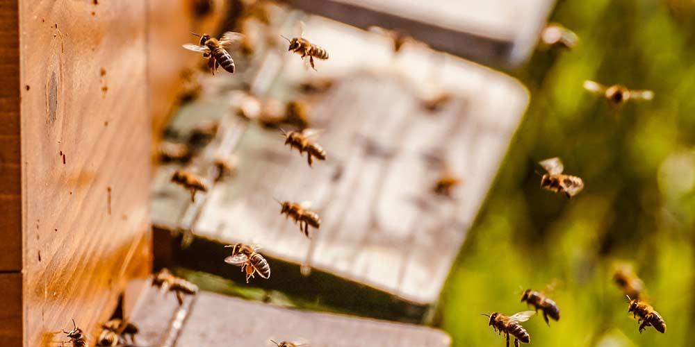 Live Bee Removal Service in Mesa Arizona