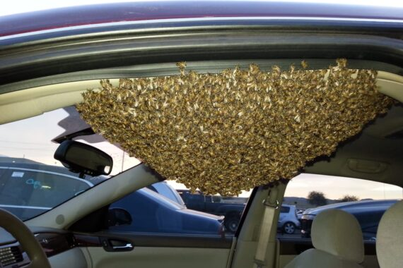 Live Bee Removal from a Car